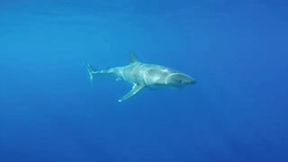 Great White Shark Moves Elegantly Under Sun's Rays - Video