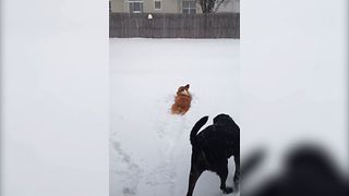 Cute Corgi Gets Stuck In The Snow
