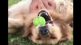 Game, Set and Scratch: Golden Retriever Can't Let Go of Tennis Ball During Blissful Belly Rub