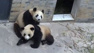 These Pandas Rolling Over Are Too Cute - Video