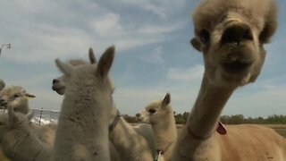 Frolicking with alpacas