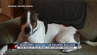 Searchers hunting for escaped bulldog - Video