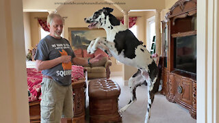 Bouncing Great Dane Gets So Excited To Hear His Friends Are Coming To Visit
