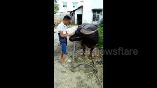 Water buffalo hitches itself to cart - Video
