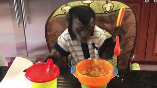 Monkey's Attempts At Eating With A Spoon Are Praiseworthy - Video