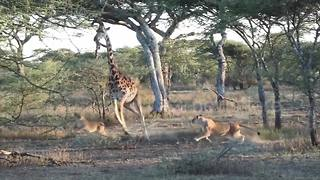 Brit tourist captures rare moment pride of lions take down giraffe in Tanzania - Video