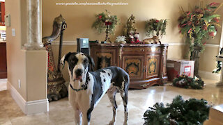 Cat joins Great Dane to help deck the halls for Christmas