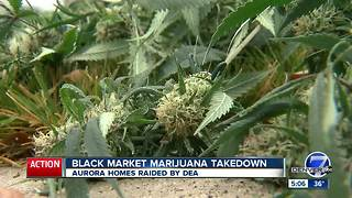 Dozens of illegal pot grows busted in the Denver metro area in massive operation - Video