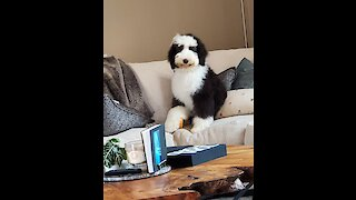 Sheepadoodle puppy doesn't need attention