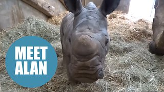 Heart-warming moment captured on camera of a baby White Rhino rolling around in the mud. - Video