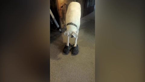 Funny Dog Likes To Wear Crocs