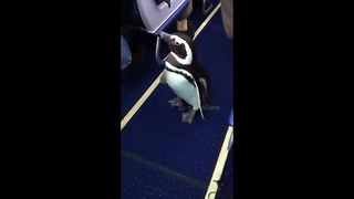 Penguin Goes For Midair Walk Down Aisle Of Southwest Airlines Plane - Video