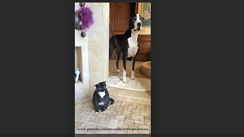 Great Dane Restlessly Waits For Cat To Finally Finish Showering