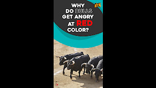 Why do bulls charge at red color? *