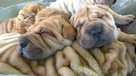 Shar Pei puppies reenact the Ride of the Valkyries