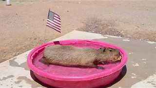 Capybara Celebrates 4th of July With Watermelon in the Pool - Video