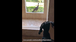 Great Dane is Shocked to see a Turkey in the Window