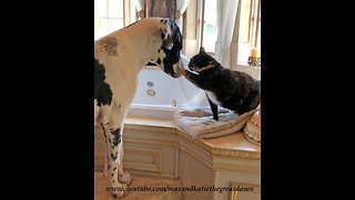 Funny Cat Gives Great Dane Kisses and Love Swats