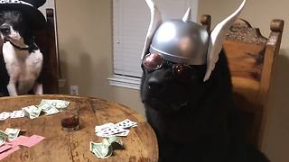 Dogs enjoy poker night in Texas - Video