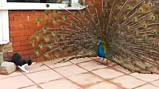 Cat loves playing with peacock's feathers
