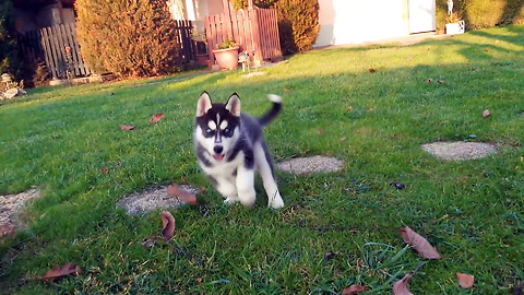 Husky puppy is having way too much fun exploring the yard