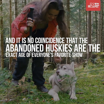 Wolfdogs: Can I Own One?
