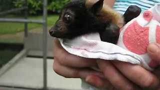 Baby Bat Wiggles Ears Happily During Careful Rehabilitation - Video