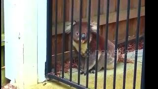 Stealthy koala escapes escapes enclosed garden - Video