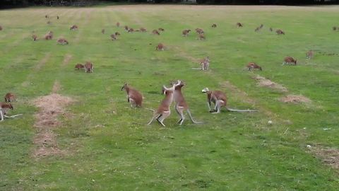 Drone footage captures hundreds of wallabies