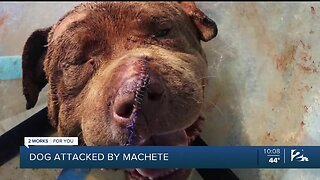 Dog Recovering After An Alleged Machete Attack