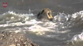 Lion Rescued from the Arabian Sea! - Video