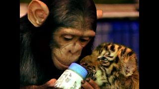 Chimpanzee Bottle Feeds Tiger Cubs - Video