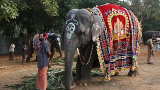 Adorable visuals of temple elephants being pampered with spa and delicious food at rejuvenation camp  - Video