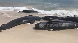 More than one hundred whales die in mass stranding in Western Australia coast - Video