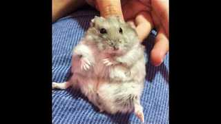 Hamster Gets Serenaded With Lullabies Before Bedtime - Video