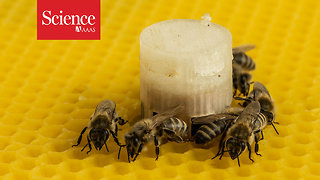 Honey bees and zebra fish come to a consensus, thanks to a little robotic intervention