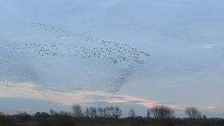 Hundreds of geese break up starling murmuration mid air - Video
