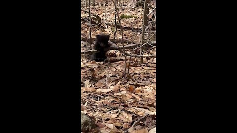 Lone bear cub discovered on Appalachian Trail in Massachusetts