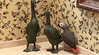 Friendly Parrot Tries To Engage Duck Statues In Conversation