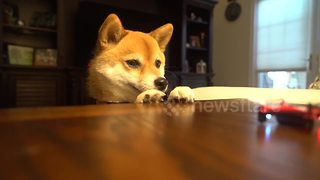Cute dog chases mini drone around home - Video
