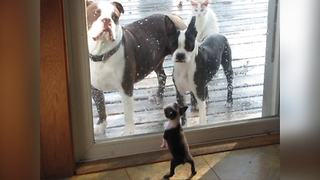 A Cute Boston Terrier Puppy Dog Wants To Play With His Friends
