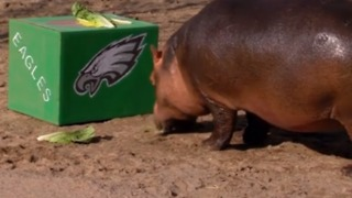 Who Will She Pick? Cincinnati Zoo's Fiona Makes Her Super Bowl LII Predictions - Video
