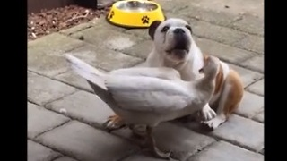 Bulldog puppy and duck engage in epic wrestling match