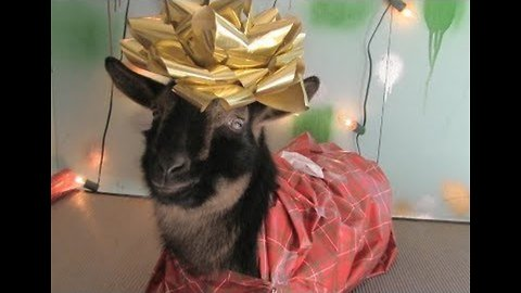 In Case You Were Wondering, Here's How to Wrap a Goat as a Christmas Present