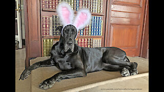 Black Great Dane Is Beautiful With Easter Bunny Rabbit Ears