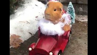 Festive Guinea Pig Delivers Holiday Cheer