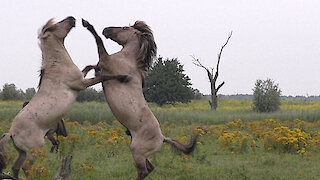A wild fighting horse gets a little help from his friend (slow version)