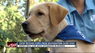 USF St. Petersburg Puppy Club students are training dogs for veterans and the visually-impaired - Video