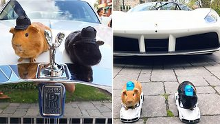 Beep beep! Guinea pigs snapped driving ferrari and lamborghini remote controlled cars  - Video
