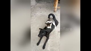 Cat gives dog a loving back massage - Video